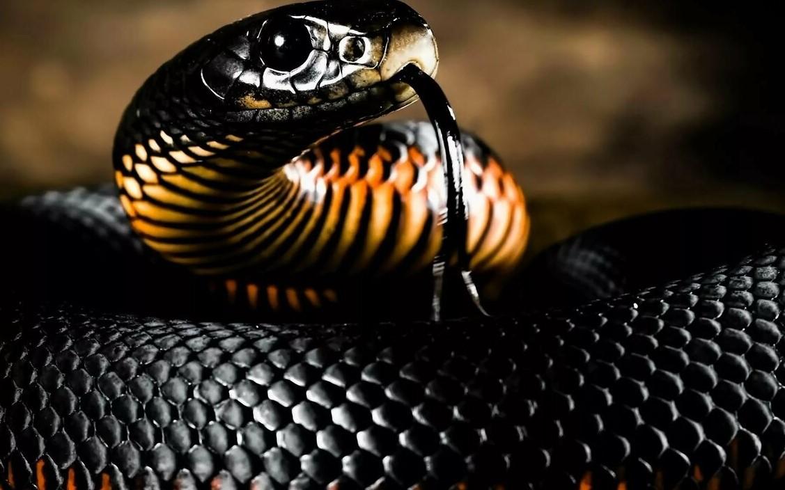 حلم الثعبان الأسود الكبير