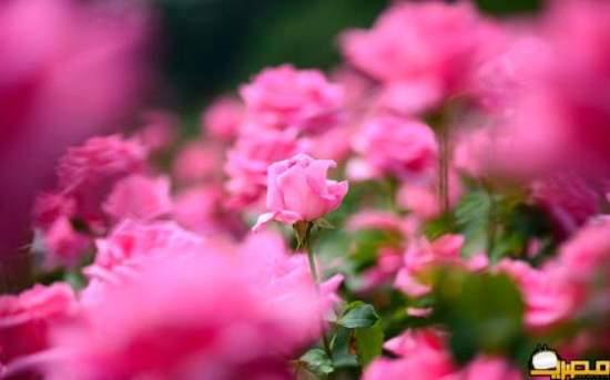 Roses_Wallpapers_9