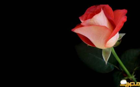 flowers-roses-black-background-red-flowers-red-rose-hd-wallpaper