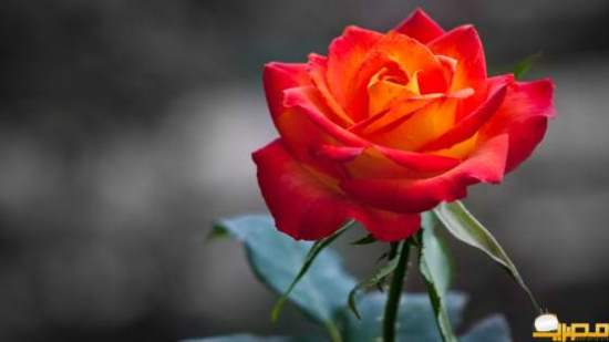 orange_rose-HD