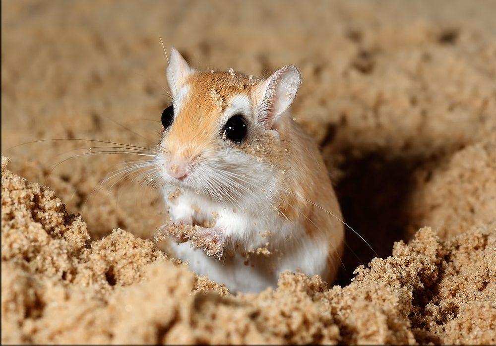 الفأر الأصفر في الحلم