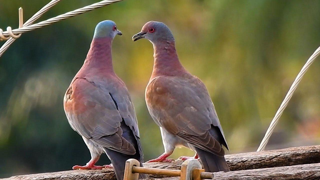 طيور الحمام في المنام