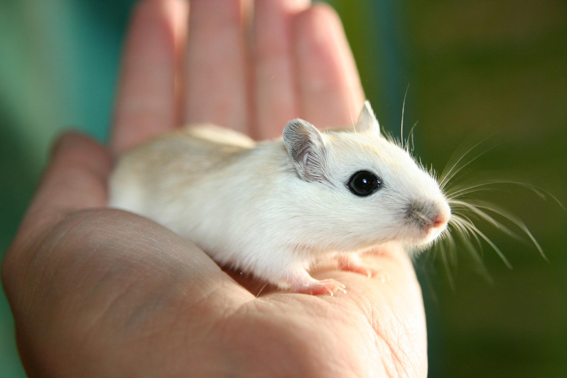 الفأر في الحلم للعزباء